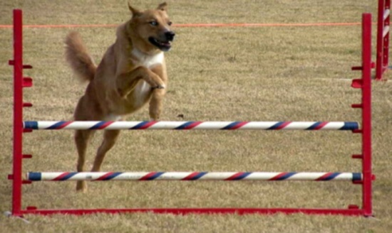 A beginners guide to dog agility 3 lost dogs an error occurred solutioingenieria Gallery