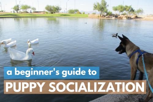 A beginner's guide to puppy socialization